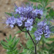 ФАЦЕЛИЯ ПИЖМОЛИСТНАЯ (Phacеlia tanacetifolia Benth.)