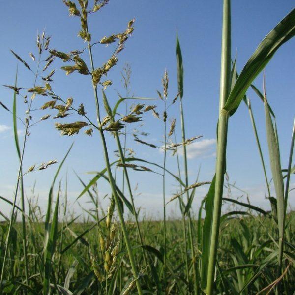 Суданская трава (суданська трава)